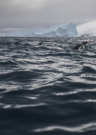 Penguins Swimming In Sea Against Glacier
