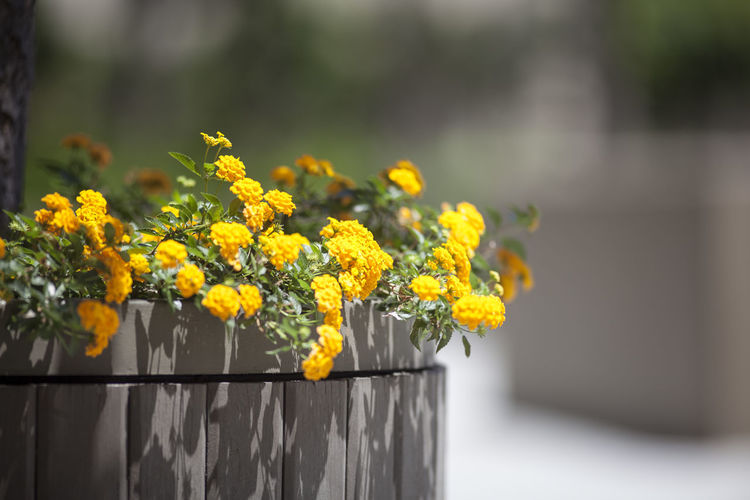 Yellow Flowers Growing On Plant