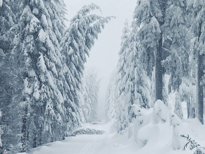Snow Cold Temperature Winter Tree Beauty In Nature Forest Tranquility