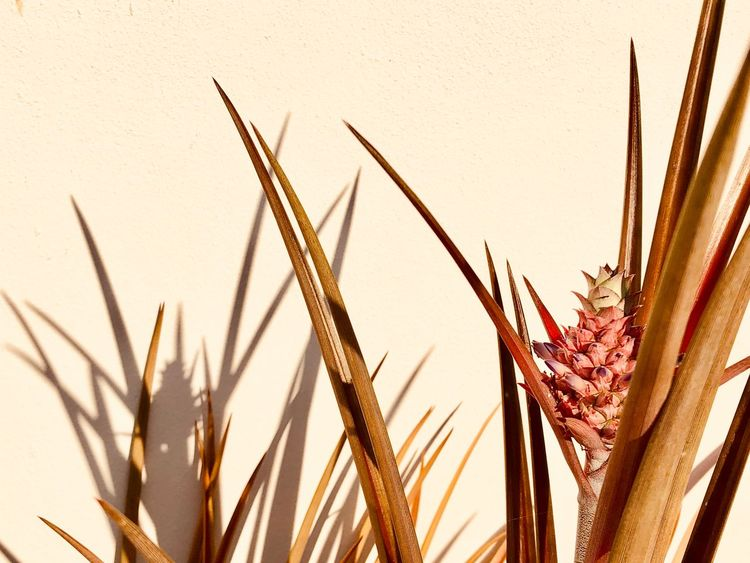 Garden Plant Petals And Fruit Small Pineapple Plant For Decoration Pinapple Plant Pointed Leaves Shadows On The Wall EyeEm Selects Plant Growth Nature No People Day