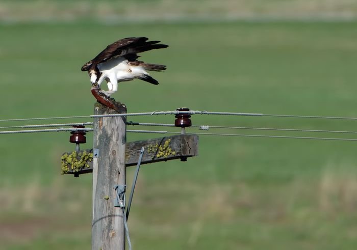 Osprey feeding on a trout he had just caught from the river in St Regis Montana. Animal Themes Animal Wildlife Animals In The Wild Beauty In Nature Bestoftheday Bird Cable Close-up Day Fish Fish Guts Focus On Foreground Insulators Nature No People One Animal Osprey  Osprey Eating It's Catch Outdoors Perching Power Line  Power Supply Telephone Trout