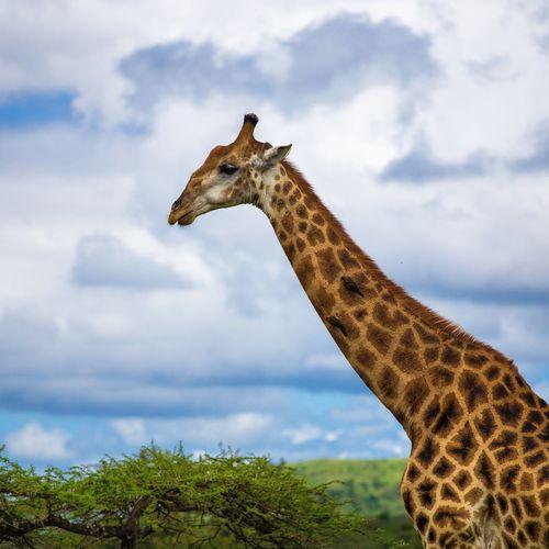 Cape Giraffe EyeEm Selects Tree Sky Cloud - Sky Giraffe Safari Animals Savannah Kenya Krüger National Park  Tanzania Zoo Animal Markings