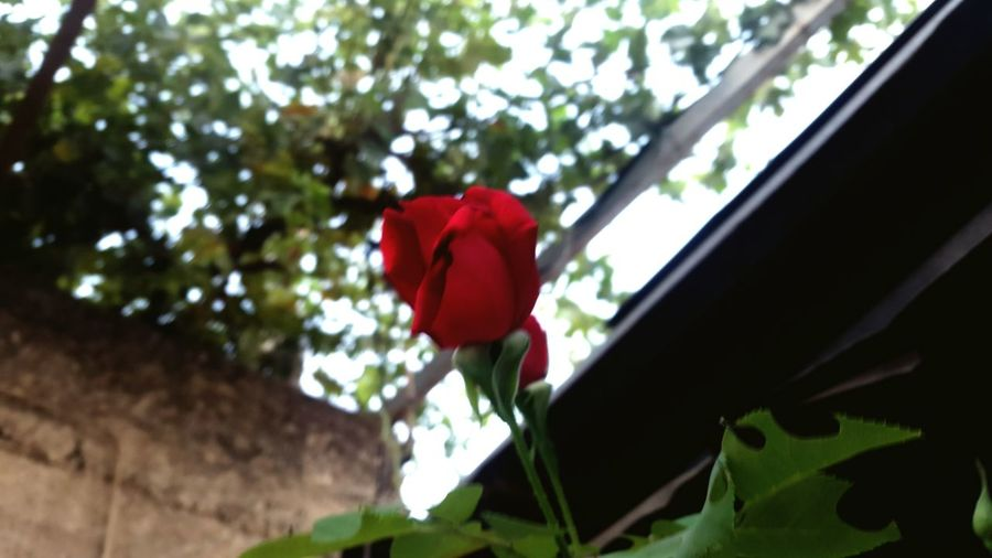 Red Red Flower Beautiful Nature Beautiful Nature Nature Photography Beautiful ♥ Nature Collection Nature Photograhy EyeEm Selects Flower 🌷 Flowers 🌹 Beautiful Flowers 🌸 🌸🌸🌷 ❤️❤️😍😍 🌸Nature🌸 🌼flowers🌼 🌸flower🌸 🌸 Nature Flowers ❤❤ 🌹 🌹🌷 🌷 💐 💐 ⚘🌼🌷🍀🌿🌹💐🌸 🌹🌹🌹🌹🌹(^_-) Amira💘 🌸 Good