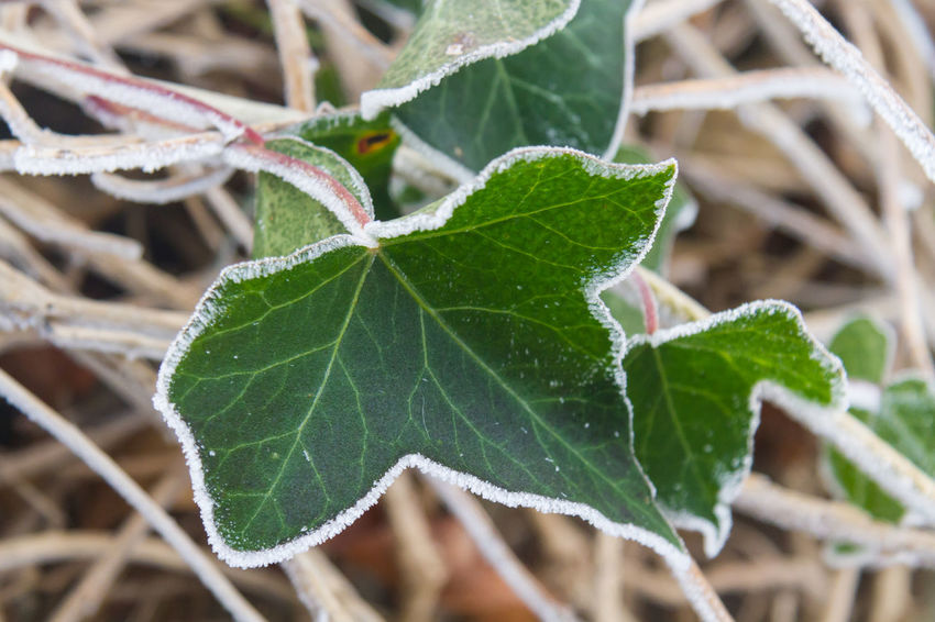 Frozen Ivy Leaves Beauty In Nature Close-up Cold Day Focus On Foreground Fragility Freshness Frost Frozen Nature Green Color Growth Ice Ice Crystals Ivy Ivy Leaf Ivy Leaves Leaf Leaf Vein Nature No People Outdoors Outline Plant Tree Winter