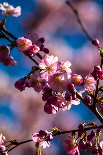 Cherry Blossom Flower Flowering Plant Plant Fragility Growth Beauty In Nature Vulnerability  Freshness Pink Color Tree Nature Close-up Springtime Blossom Focus On Foreground No People Outdoors Day