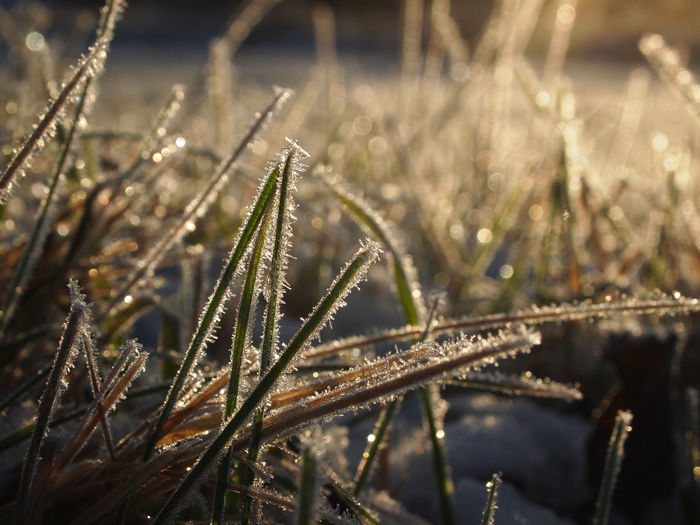 Backlight Frost Grass Low Angle View Rural Sparkling Tranquility Winter Beauty In Nature Close-up Cold Temperature Day Focus On Foreground Growth Nature No People Outdoors Plant Shades Of Winter