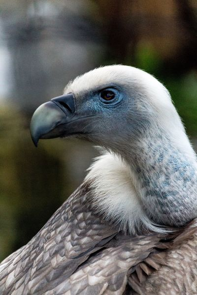 Majestic Nature No People Paris, France  Paris Zoodevincennes Zoom Beauty In Nature Close Up Photography Bird Animal Themes Beak Close-up Focus On Foreground Bird Of Prey Vulture EyeEm Animal Lover