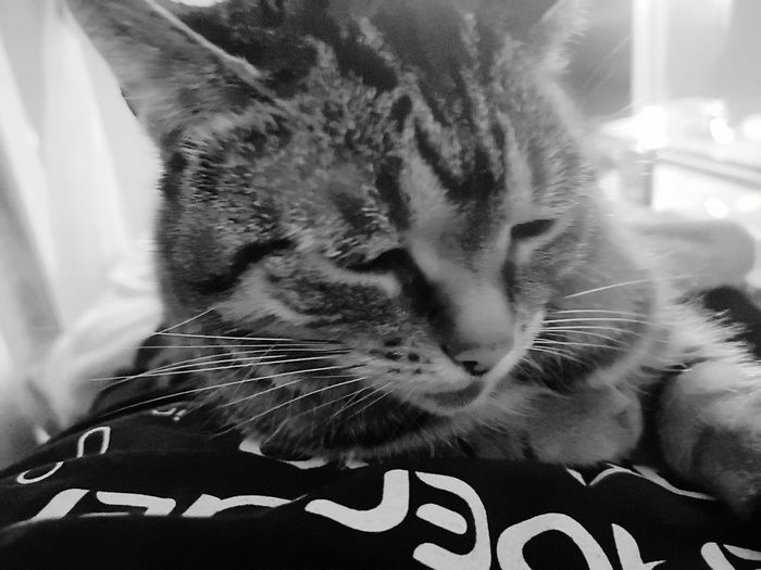 Lilli Pets Domestic Cat Feline Headshot Portrait Whisker Cute Close-up Pet Owner Cat Stray Animal Sleepy