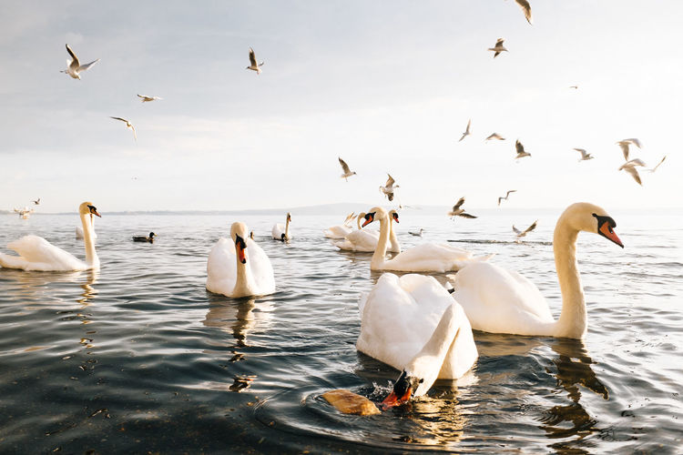 Interested Animal Themes Animal Wildlife Animals In The Wild Beauty In Nature Bird Day Flock Of Birds Flying Fujifilm_xseries Lake Large Group Of Animals Motion Nature No People Outdoors Sky Spread Wings Swan Swimming Togetherness VSCO Water Water Bird