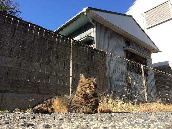 Stray Cat 野良猫 キジトラ
