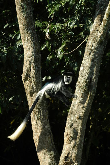 Black-and-white colobus on tree in forest