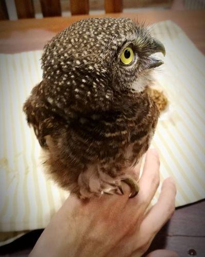 owl Eye Brown Feather  Cutr Hand Baby Bird Bird Pets Owl Headshot Portrait Bird Of Prey Close-up Animal Eye