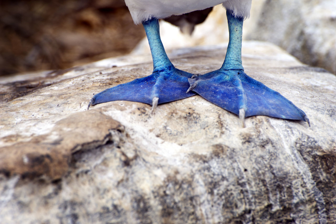 Low section of blue-footed booby on rock