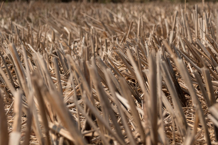 Dried rice stubble in the agricultural fields after harvest