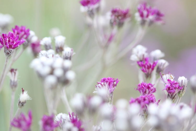 Flower Flowering Plant Plant Freshness Beauty In Nature Vulnerability  Fragility Close-up Growth Selective Focus Purple Petal Nature No People Flower Head Day Inflorescence Lavender Pink Color Outdoors Flower Arrangement