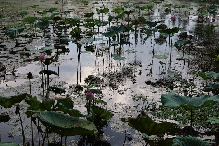 View of lotus water lily in lake