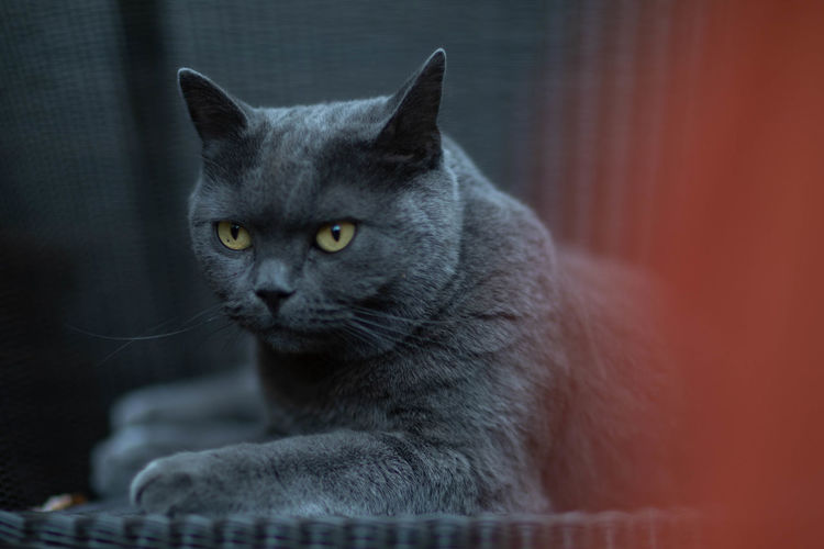 grown up british shorthair cat looking like the sphinx Animal Body Part Animal Eye British Shorthair Cat Close-up Domestic Domestic Animals Domestic Cat Feline Indoors  Looking Mammal No People One Animal Pets Portrait Relaxation Social Issues Sphinx Vertebrate Whisker Yellow Eyes