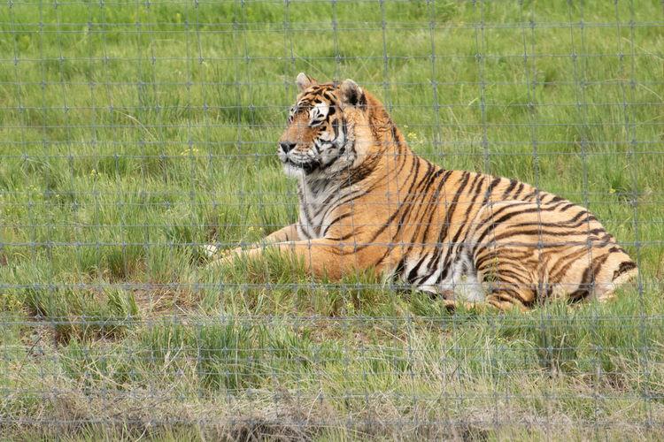 Animal Animal Themes Animal Wildlife Big Cat Feline Grass Mammal Nature No People One Animal Outdoors Striped Tiger