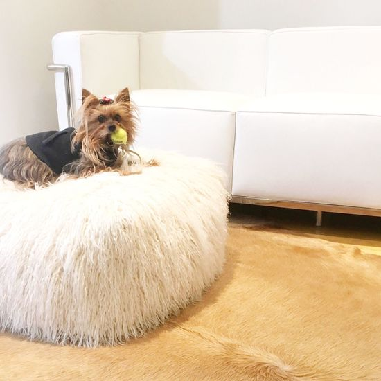 Yorkie ♥ Yorkie Dogs Of EyeEm Dog Yorkshire Terrier Yorkshire Terrorist White Leather Lc3 White Room Littledogbigworld Dogwithball Yorkies Yorkielove Yorkielife Smalldogsbigheart