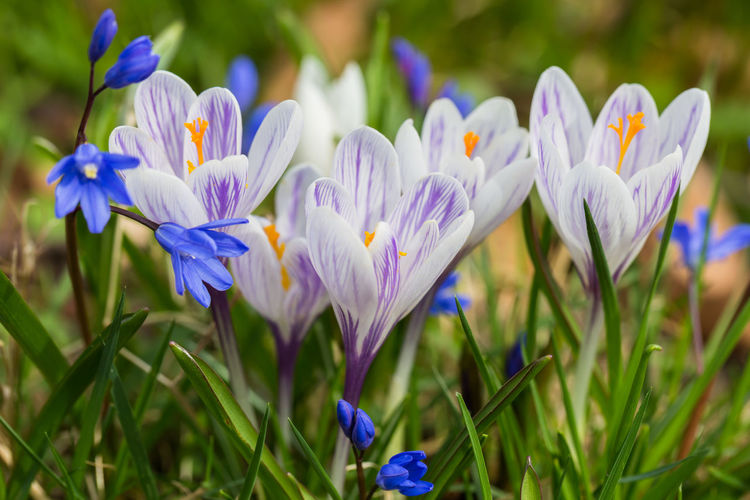 Spring flowers: Crocus collection Beauty In Nature Blooming Blossom Close-up Crocus Flower Flower Head Focus On Foreground Fragility Freshness Grass Growth Macro Macro Beauty Macro Photography Nature No People Outdoors Petal Plant Purple Spring Spring Flowers Springtime
