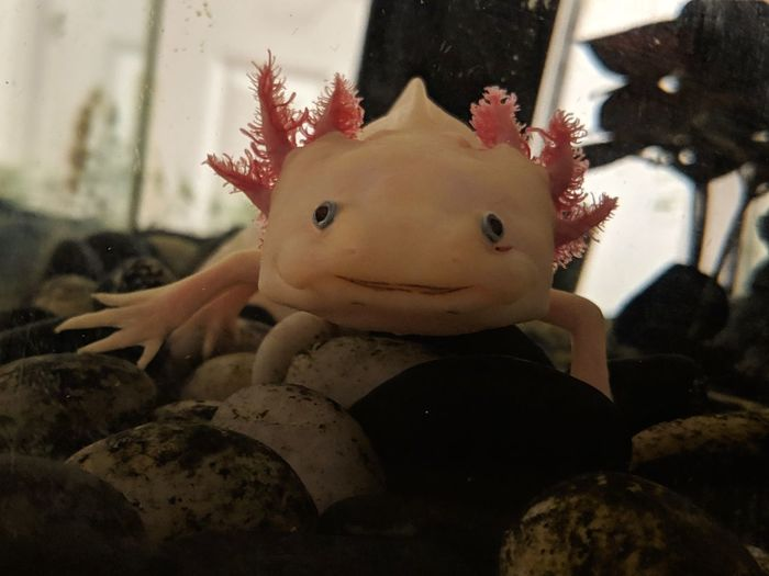 axolotl Sea