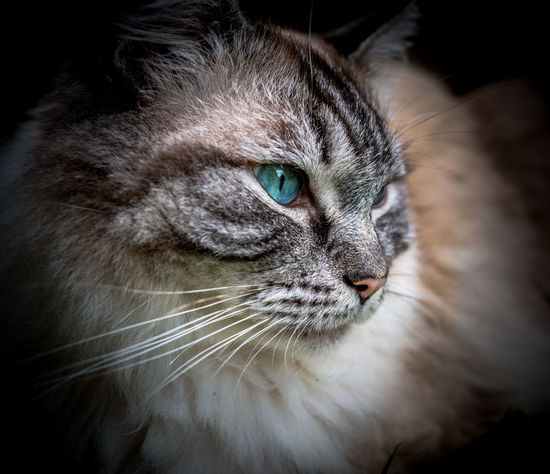 Animal Photography Animal Themes Blue Eyes Cat Lovers Close-up Cute Day Domestic Animals Domestic Cat Feline Indoors  Mammal No People One Animal Pedigree Cat Pedigreecats Pets Portrait Ragdoll Cat Tuquoise Whisker Pet Portraits