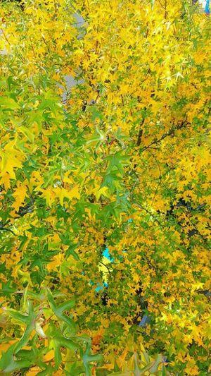 Autumn Collection Autumn🍁🍁🍁 Taking Photos Beautifulnature EyeEm Nature Lover Tree_collection  Nature Photography Leaves_collection Fall Leaves Leav EyeEm Best Shots - Autumn / Fall Autumn Leaves