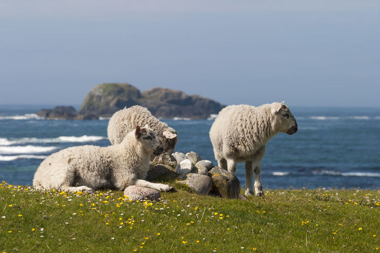 Sheep on sea shore against clear sky