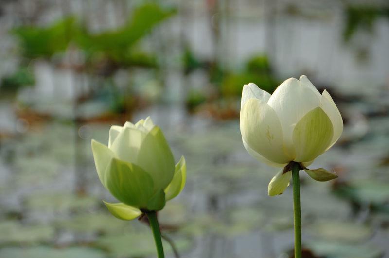 Close-up of white lotus