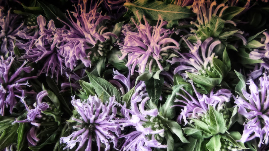 Freshly harvested bee balm flowers. Bee Balm Beauty In Nature Close-up Day Flower Flower Head Fragility Freshness Full Frame Growth Monarda Fistulosa Nature No People Outdoors Plant Purple