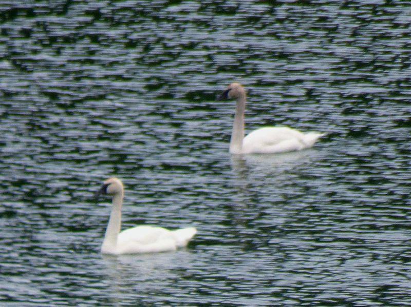 Two Is Better Than One Trumpeter Swan Alaska Fresh On Eyeem