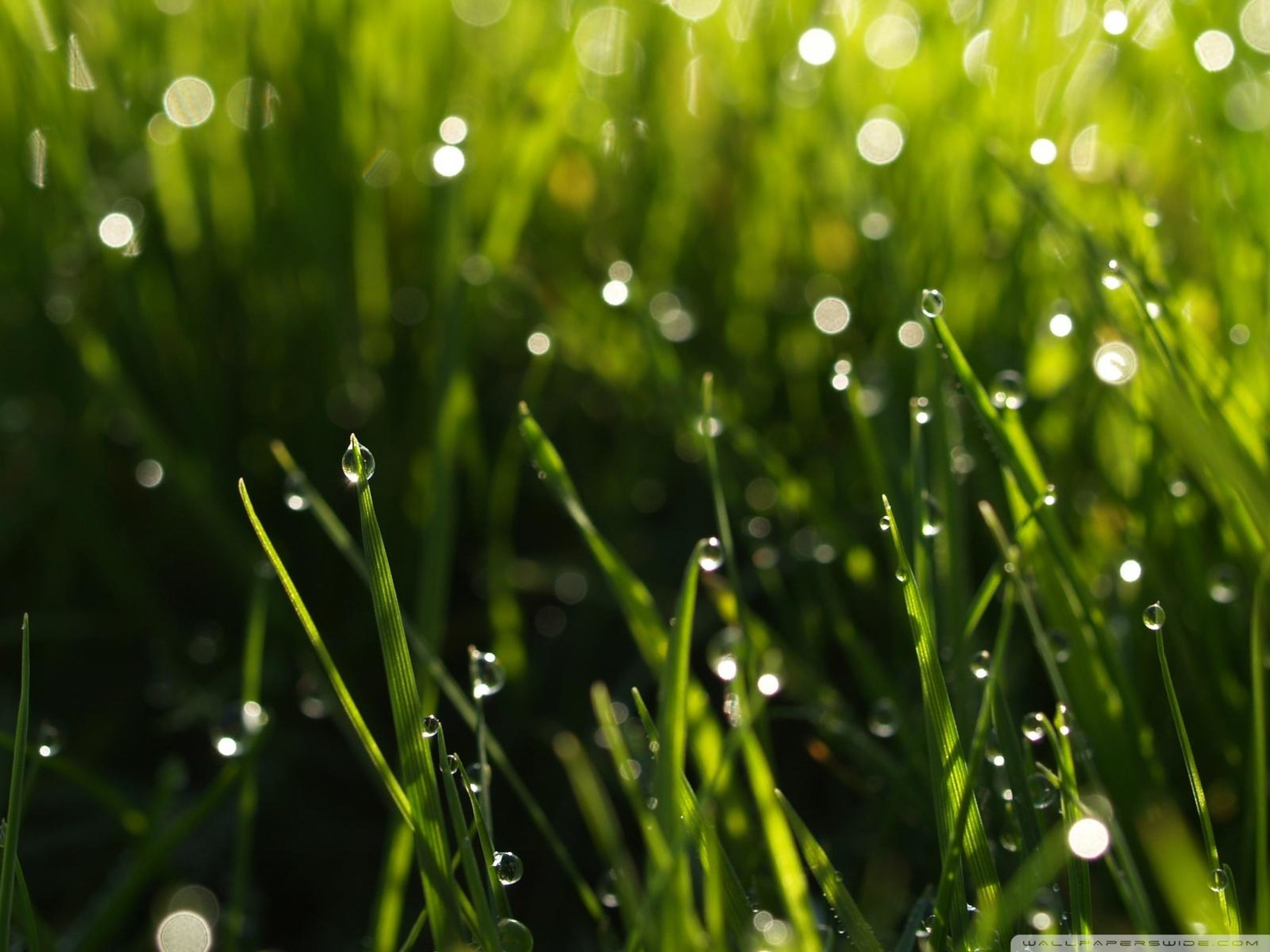 drop, water, wet, dew, growth, grass, freshness, close-up, nature, green color, rain, beauty in nature, raindrop, focus on foreground, fragility, blade of grass, purity, plant, selective focus, water drop