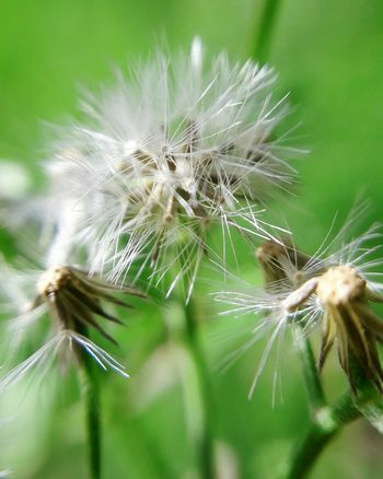Dandelion Fragility Flower Plant Nature Beauty In Nature Growth Green Color Uncultivated Outdoors No People Close-up Dandelion Seed Flower Head Freshness Seed Day Desaturated Spring Springtime Beauty In Nature Nature Wildflowers