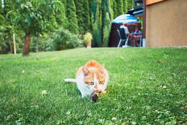 Portrait of ginger cat on grass