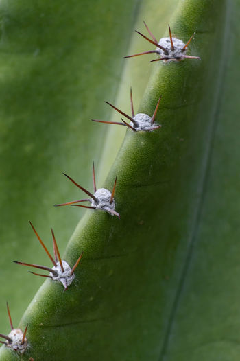 Cactus Cactus Spines Close-up Day Focus On Foreground Green Color Nature No People Plant Plant Part Selective Focus