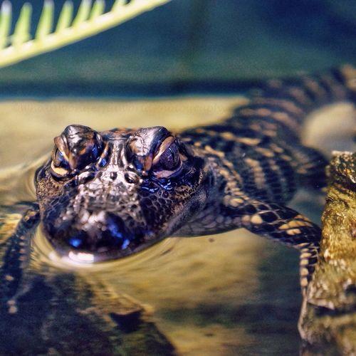 Skidaway Island Alligator Reptile