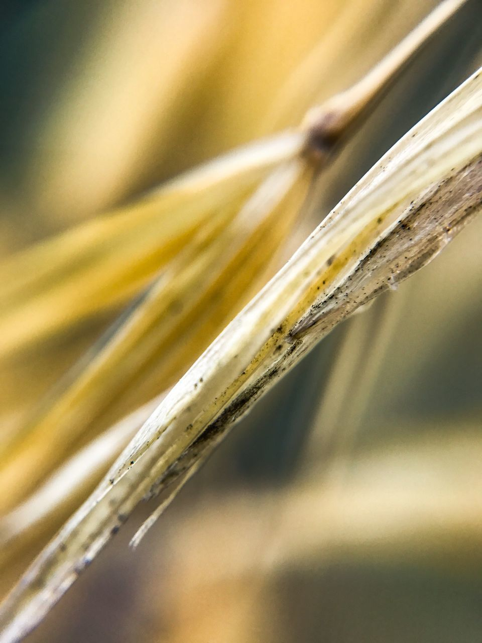 cereal plant, close-up, wheat, nature, growth, no people, ear of wheat, yellow, day, outdoors, beauty in nature, fragility
