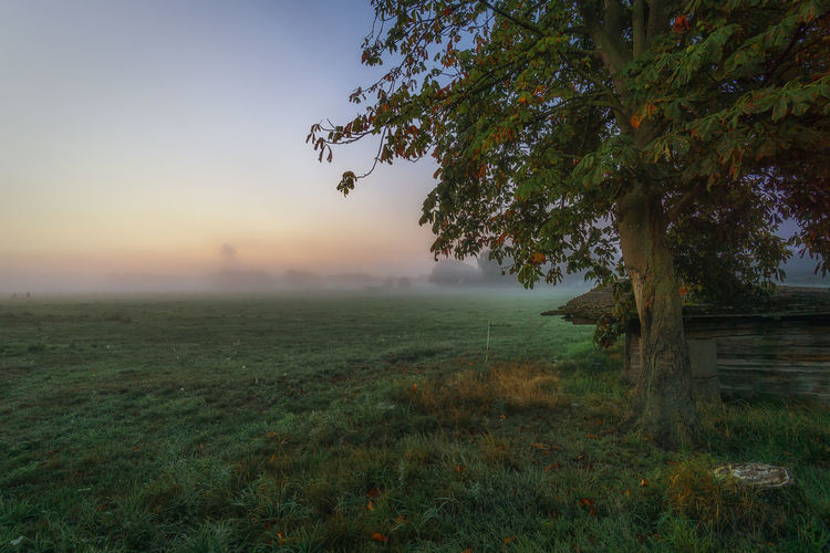 Oak tree on meadow during misty morning in autumn Plant Tree Sky Tranquility Tranquil Scene Landscape Environment Beauty In Nature Scenics - Nature Field Land Nature Grass Fog Growth Rural Scene Sunset Outdoors Hazy  Oak Tree EyeEmNewHere Misty Morning Meadow Autumn Foggy