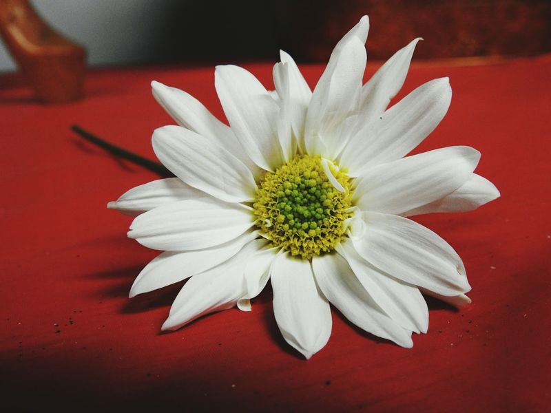 Daisy on Red table cloth. Flower Petal Flower Head Beauty In Nature Close-up Red Fragility Freshness No People Nature Daisy Shasta Daisy Daisies ♥  Flower Collection Single Flower White Flower White Daisy Flowerporn Floral Petal_perfection Daisy Flower Daisy Close Up Macro Photography StillLifePhotography Still Life Photography