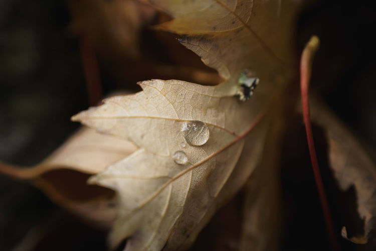 Close-up of water drops on maple leaf
