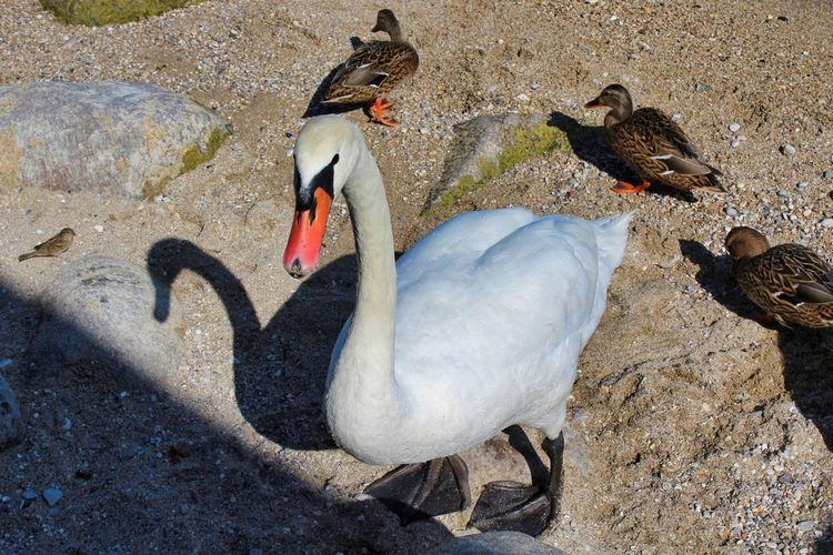Bird Group Of Animals Animal Animal Themes Vertebrate Animal Wildlife Animals In The Wild No People Nature Water High Angle View Day Rock Lake Young Animal Rock - Object Land Solid Medium Group Of Animals Animal Family Flock Of Birds Cygnet