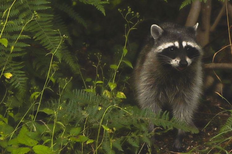 Mammal One Animal Animal Wildlife Animals In The Wild Vertebrate Plant Tree Portrait Looking At Camera Raccoon No People Nature Outdoors Day Growth Land Standing Whisker