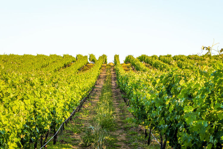 A wineland perspective. Agriculture Beauty In Nature Diminishing Perspective Field Green Color Growth Landscape Long Lush Foliage Nature No People Outdoors Plant Plantation Rural Scene Scenics Sunlight Tea Crop The Way Forward Tranquil Scene Tranquility Vineyard Wine Country Winelands Winemaking