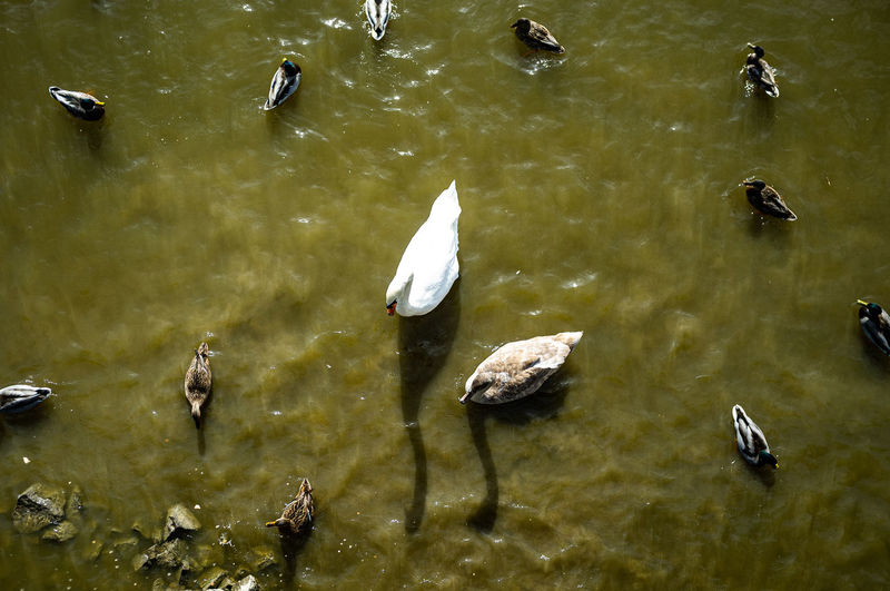 Ducks, Swans
