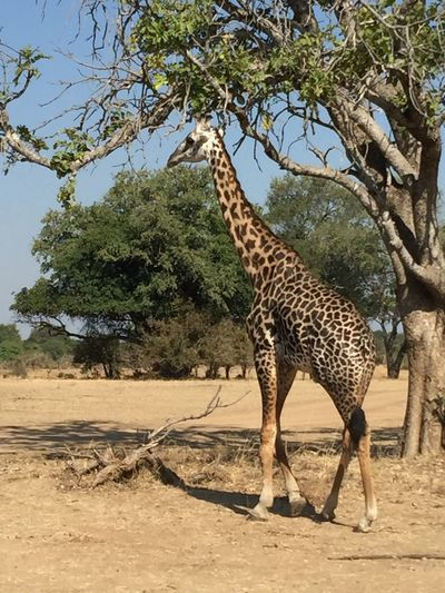 Animal Themes Wildlife Safari Animals Animals In The Wild Giraffe Nature Travel Travel Destinations Nature Tourism Vacations Zambia Luangwa National Park