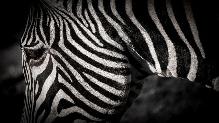Zebra @ Zoo