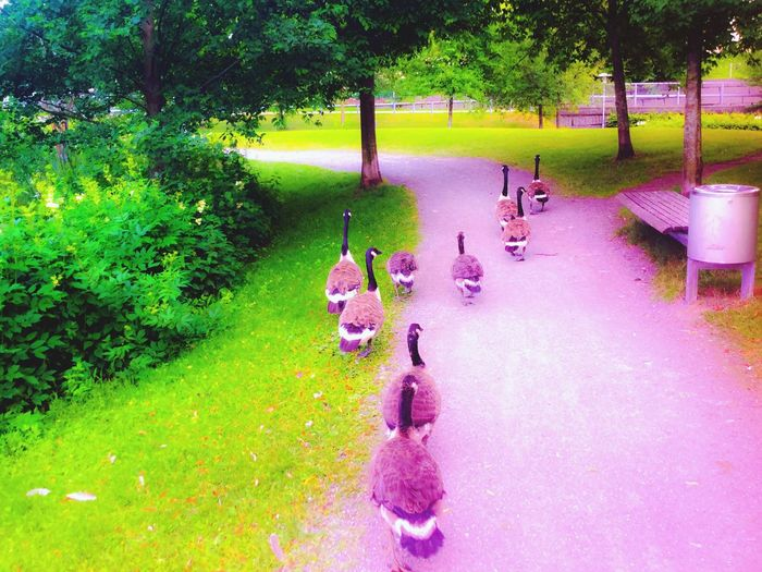 'On The Move' Pondlife Urbanexploration Streetphotography Birds Canadageese 3Kids In The Pack2016 Summertime Sunmer In The City Taking Photos LifeAtThePond Oslo, Norway KariJosefiné✨