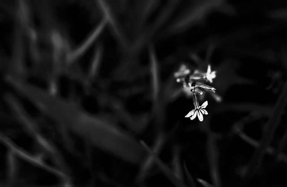 Close-up Fragility Flower Macro Photography Closeup In Nature Blancoynegro Blackandwhite Shadows & Lights EyeEmNewHere The Week On EyeEm Noir Et Blanc Bnw_collection Bnw Garden Photography Freshness Vale Do Paraíba Shadow Photography São José Dos Campos Flower Collection Flowerporn Selective Focus Small Flower SmallFlowers Nature Day
