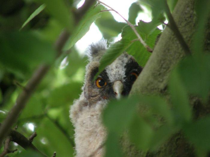 ransuilskuiken UIL Vogel Roofvogel