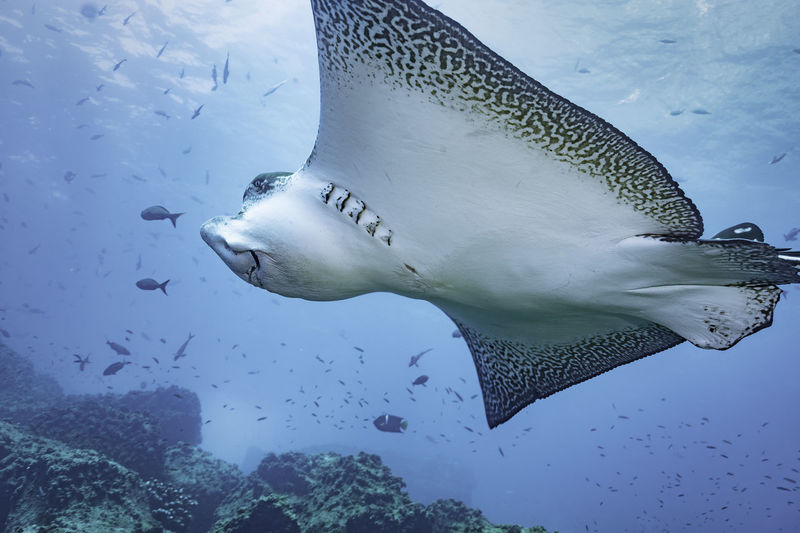 Eagle ray swimming close up, Galapagos Islands Diving Eagle Ray Galapagos Galapagos Islands Pacific Ray Underwater World Animal Themes Animal Wildlife Animals In The Wild Fish No People Ocean One Animal Outdoors Pacific Ocean Sea Life UnderSea Underwater Underwater Diving Underwater Photography Underwaterphotography Water